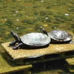 新宿中央公園の池の亀ーその1