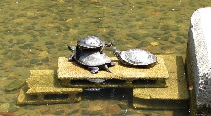 新宿中央公園の池の亀ーその2