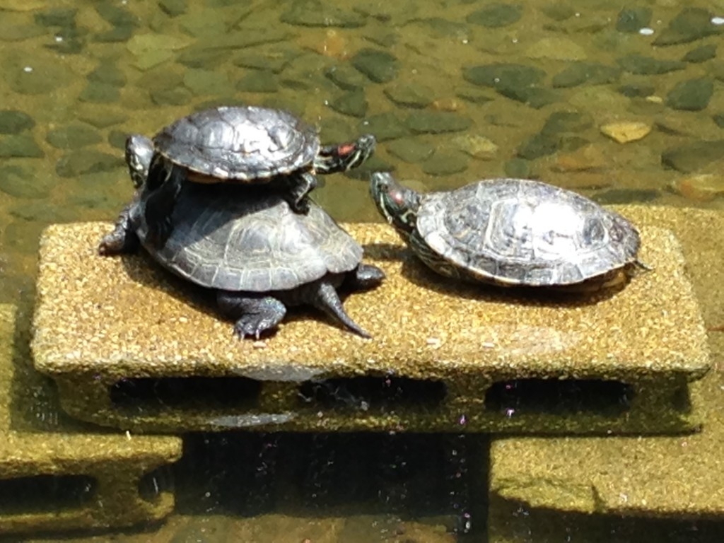 新宿中央公園の池の亀ーその3