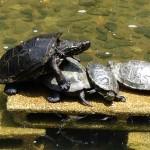 新宿中央公園の池の亀ーその4
