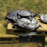 新宿中央公園の池の亀ーその5